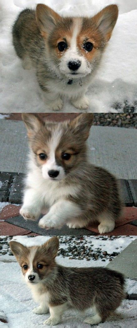 Welsh corgi pembroke puppy.