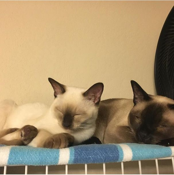 Tonks Stour and Razz - Tonkinese cats