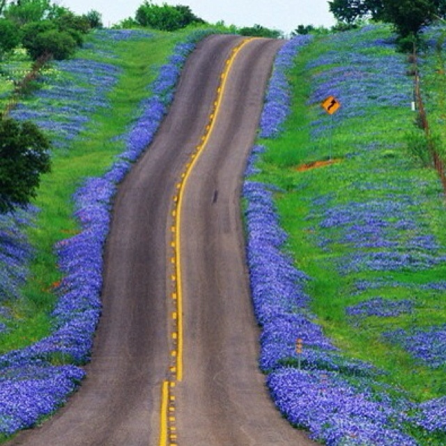 For you non-Texans - this is for real.  The bluebonnets are GORGEOUS.