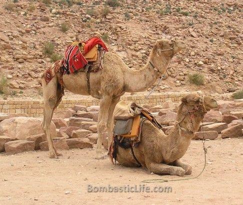 Camels we rode at Petra in Jordan