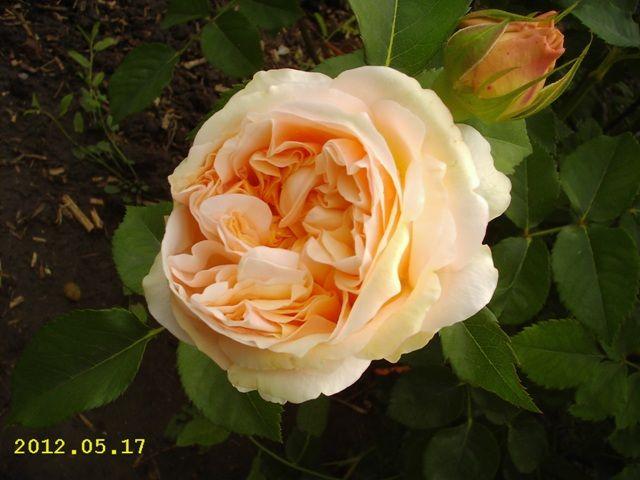 Kunena :: Téma: Austin David - Anglické růže III/2012 (9/66)