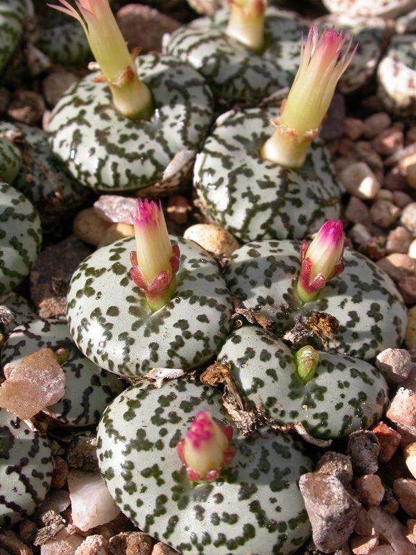 Conophytum obcordellum. (Synonym: Conophytum obcordellum f. ursprungianum)                                                                                                                                                                                 Más