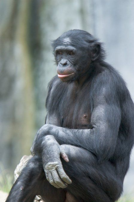 This is a Bonobo.  They are different than a Chimpanzee with pink lips and longer limbs.