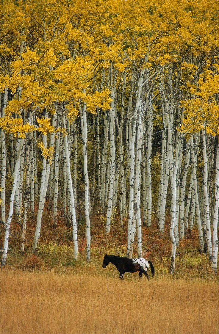 03 Appaloosa and Aspen, near Turner Valley, Alberta, Canada