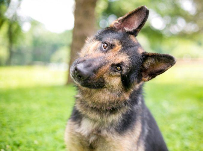 The Shiloh Shepherd Is A Mixed Breed With German Shepherd Alaskan