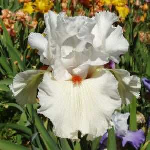 73 best images about Iris on Pinterest | Bearded iris ... on Blue Fox Outdoor Living id=58169