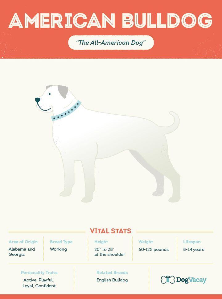 American Bulldog Breeds Dogvacay Bulldogbreeds Bulldog Breeds