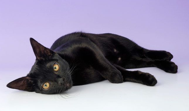 Bombay Cat Breed Information Bombay cats are pure black too. They are beautiful cats. Neonwoman