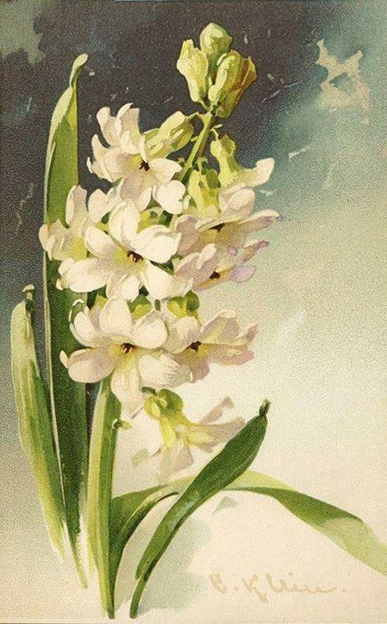 White hyacinth, Catherine Klein
