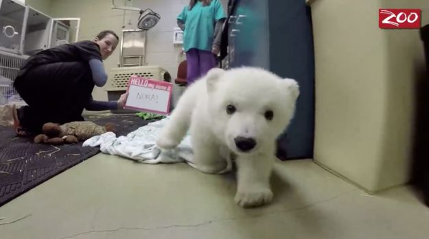 Now she is this big. | A Zoo Filmed A Polar Bear Cub As She Grew Up And It Is The Cutest
