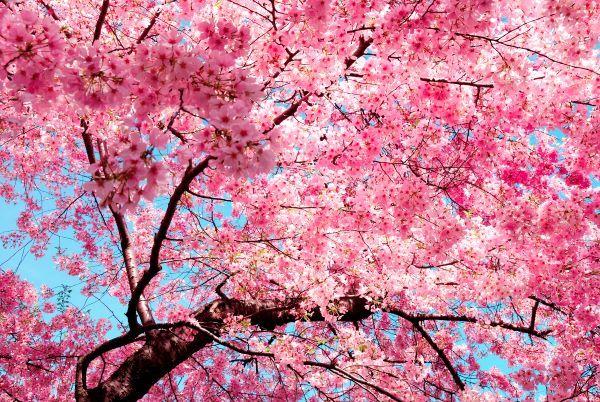 Https Www Greaterseattleonthecheap Com Wordpress Wp Content Uploads 2020 02 Depositphotos 400220 Cherry Blossom Wallpaper Blossom Trees Flowering Cherry Tree