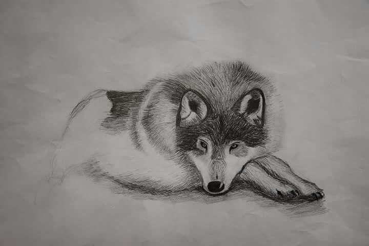 Vlk - studijní kresba (tužka)