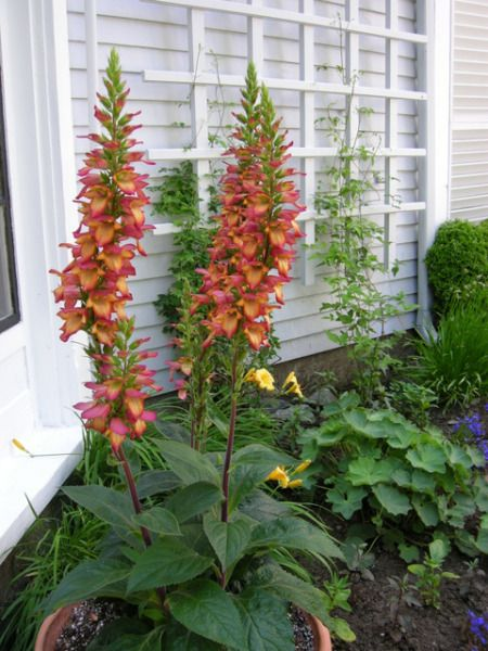 Digitalis 'Illumination Flame'