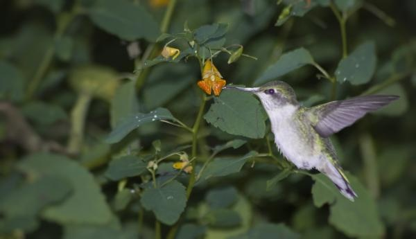 Rubythroated Hummingbird and Jewel Weed.