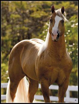 Quarter Horse stallion, Gold Rush.