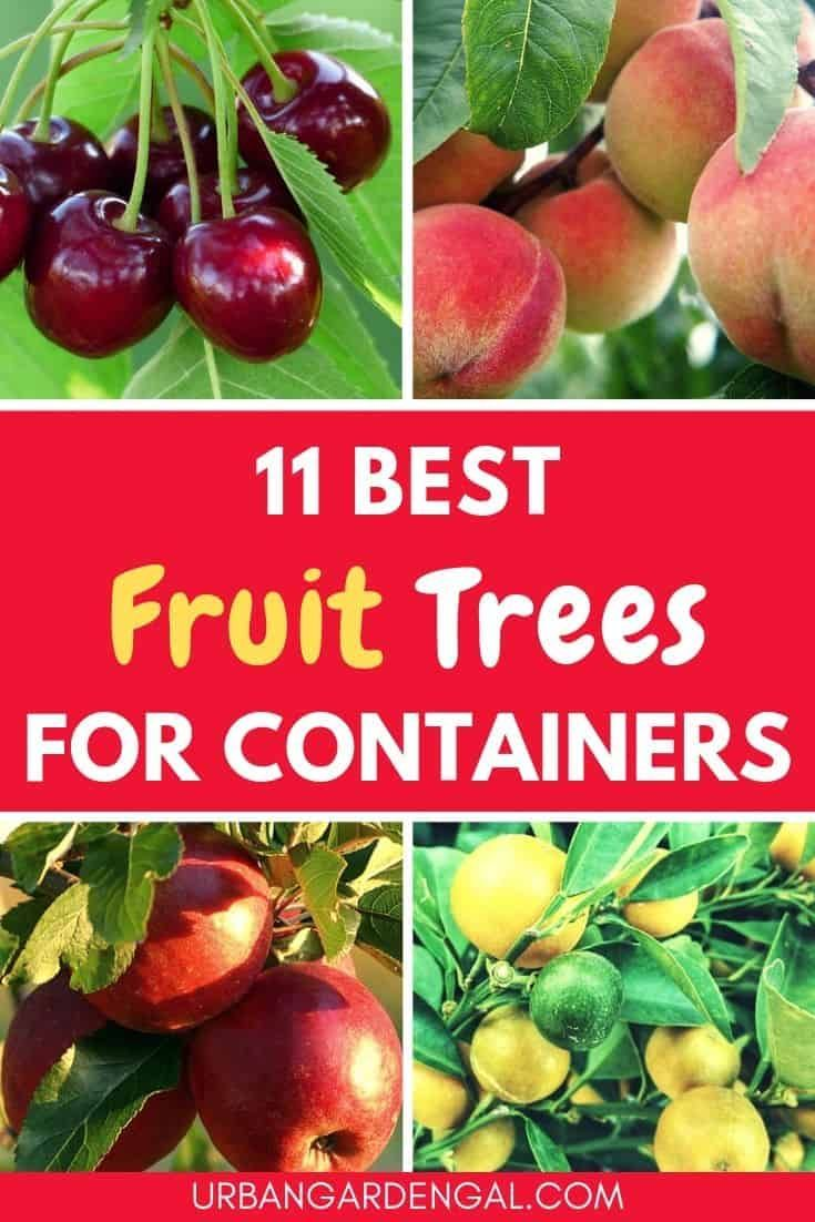Growing Fruit Trees In Containers Is A Great Way To Grow Your Own Fruit At Home In This Articl Fruit Trees In Containers Dwarf Fruit Trees Growing Fruit Trees