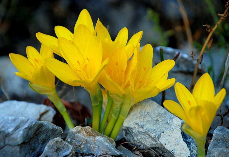 sternbergia lutea - Google zoeken