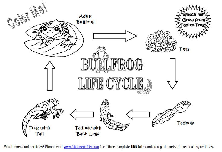 Free Frog Coloring Pages To Print Out And Color Cycle Of A Frog Coloring Page