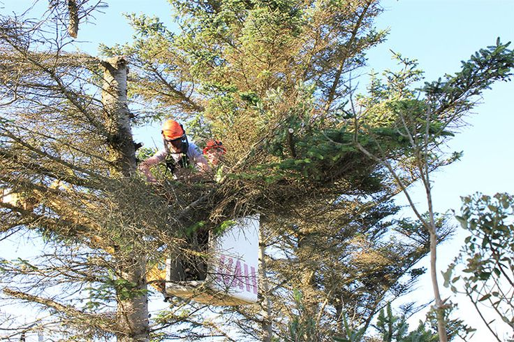 Tree Pruning improves the appearance of the tree, promote healthy plant growth, and protect people from falling branches. We believe that pruning and thinning also provides better air circulation to reduce the wind loading on branches during storms. Call 1300409069