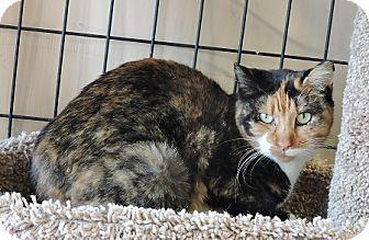 Massapequa, NY - Calico. Meet Millie, a cat for adoption. http://www.adoptapet.com/pet/17345948-massapequa-new-york-cat