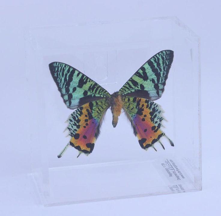 "Acrylic Display Box - 4"" X 4"" - Sunset Moth - Ventral - #99104-2"