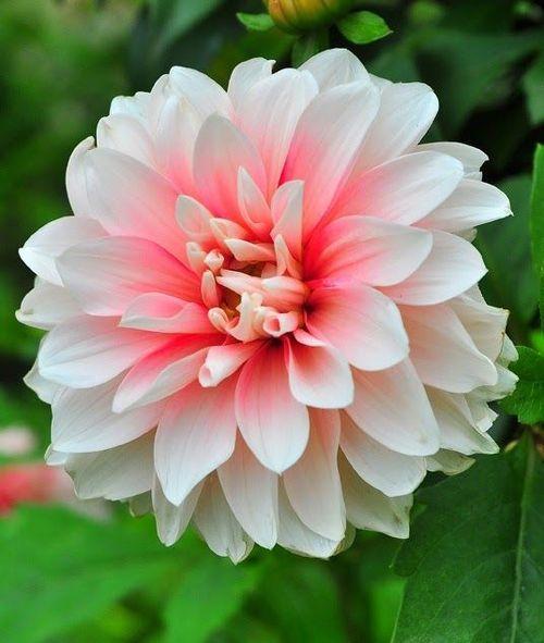 flowersgardenlove:  Dahlia Flower and Ga Beautiful gorgeous pretty flowers