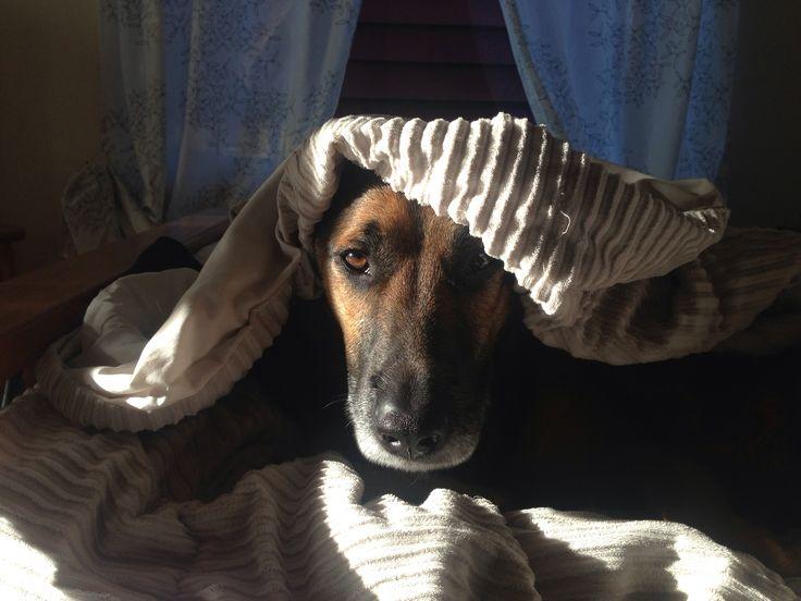 Dexter, the German Shepherd, doing his best impersonation of Tutankhamun.   GSDxDexter