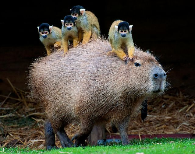 Squirrel monkey & Capybara by sandra #Squirrel_Monnkey #Capybara