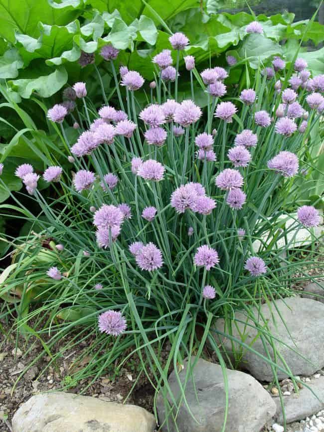 15 Pest Repelling Plants For Your Garden Chives Plant Chive Seeds Chives Garden