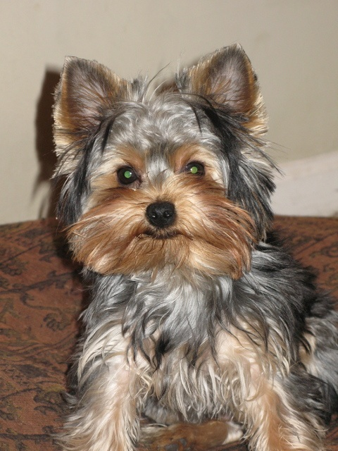 Pictures of Yorkshire Terrier Dog Breed | Yorkies ...