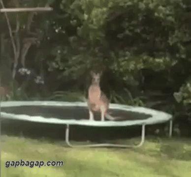 Funny GIFs: Kangaroo On Trampoline Fail