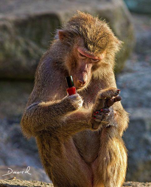 """""""Die lächerliche Behauptung, Affen würde das Verhalten des Menschen kopieren, ist wissenschaftlich absolut unhaltbar!""""  (Pavian Fotomontage Werner David)"""