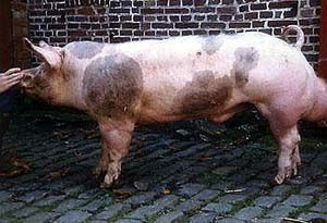 """PIETRAIN SWINE Pietrain, Belgium, the village from which the breed takes its name, was the birthplace of the breed. The exact origin is unknown but the local breed was """"brought to the fore"""" during the difficult period of the swine market in 1950-51."""