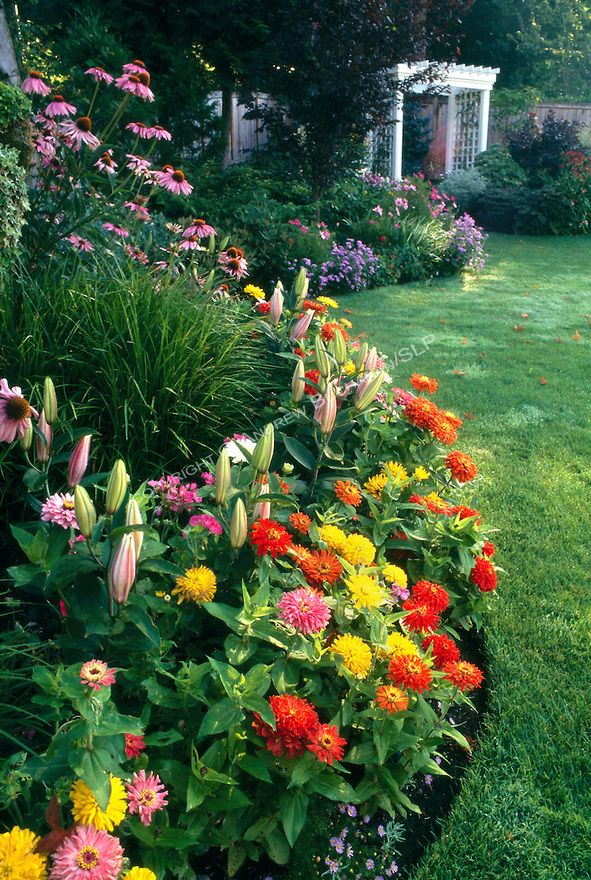An early summer border of mixed annuals and perennials, including zinnias, lillies, echinacea (coneflower), and sedge grasses, explodes with color at sunrise along the edge of a manicured residential backyard lawn near Seattle, with a white arbor in the soft focus background.