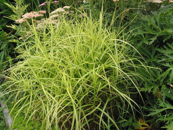 Carex muskingumensis 'Silberstreif' - 50cm