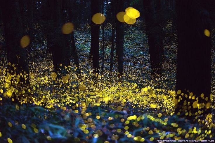 Fireflies Photo - Visual Hunt