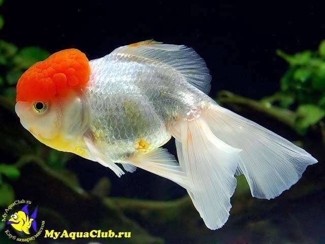 Аквариумные золотые рыбки красная шапка