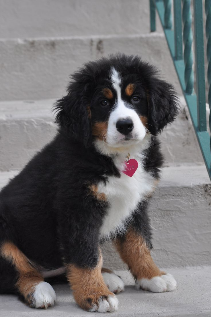 Bernese Mountain Dog  Nellie Bean