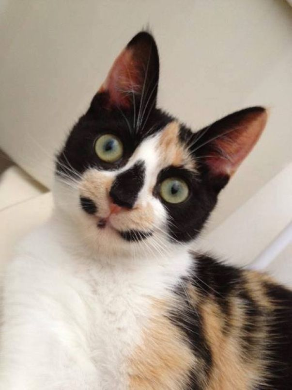 Calico wearing a natural mask from 16 Cats with the Best Markings Ever