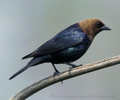 [][][] Brown-headed Cowbird. Family Icteridae.