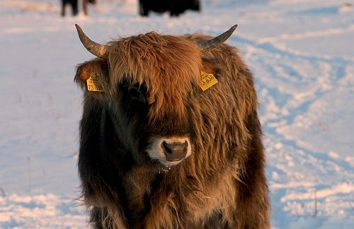 Heck cattle, winter