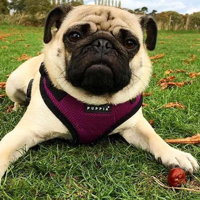Puppia Purple Harness Available At Www Ilovepugs Co Uk Post