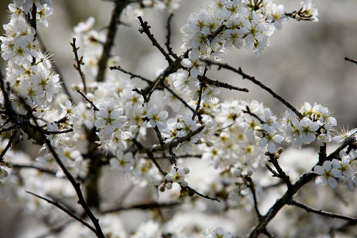 Blackthorn blossom, herald of Spring in the Burren