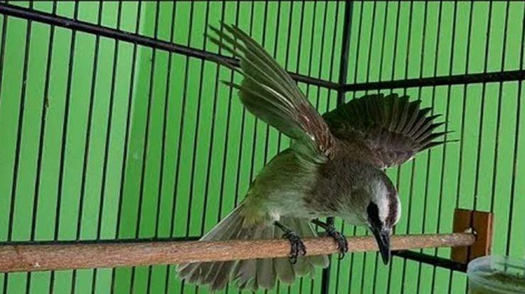 Pin Oleh Birdsny Di Suara Burung Burung Pengicau Burung