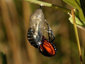 Seorang pria menemukan sebuah kepompong kupu-kupu.  Suatu hari lubang kecil muncul.  Dia duduk dan mengamati kupu-kupu selama beberapa jam  karena berjuang untuk menekan tubuhnya melalui lubang kecil.  Kemudian berhenti, seolah-olah itu tidak bisa