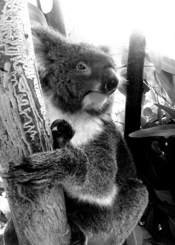 Sold!!! ..Thanks to the recent buyer of this 'Koala' steel poster from my Displate webstore!  #metalplates #koalabear #steelposters #displate #marsupial #koala #australia #eucalyptus #photo #photographs #koalas #animals #zoo #claws #cute #wildlife #australianwildlife #protectedspecies