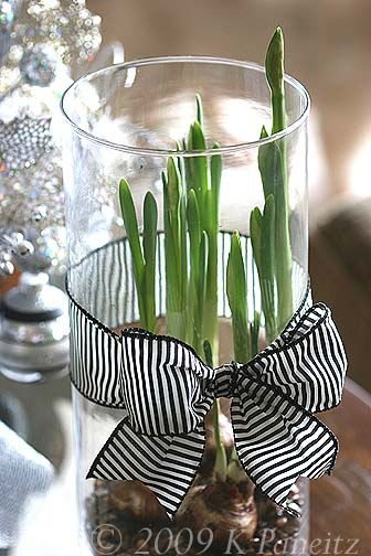 Forcing bulbs. Love the ribbon and tall vase to keep leave upright.