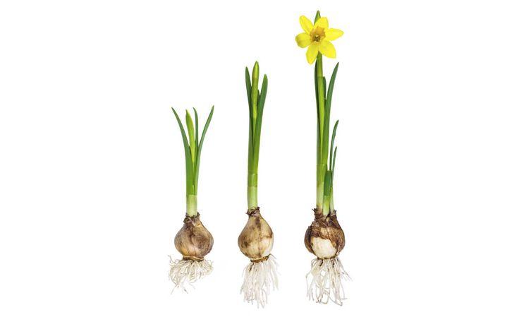 Cuándo plantar narcisos - IMujer