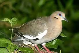 Esta es la encantadora paloma torcaza que nos deleita dia tras dia a los que vivinos en poza rica.