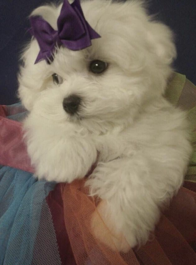 Beautiful Maltese Maltese Maltese Puppy Maltese Dogs Puppies